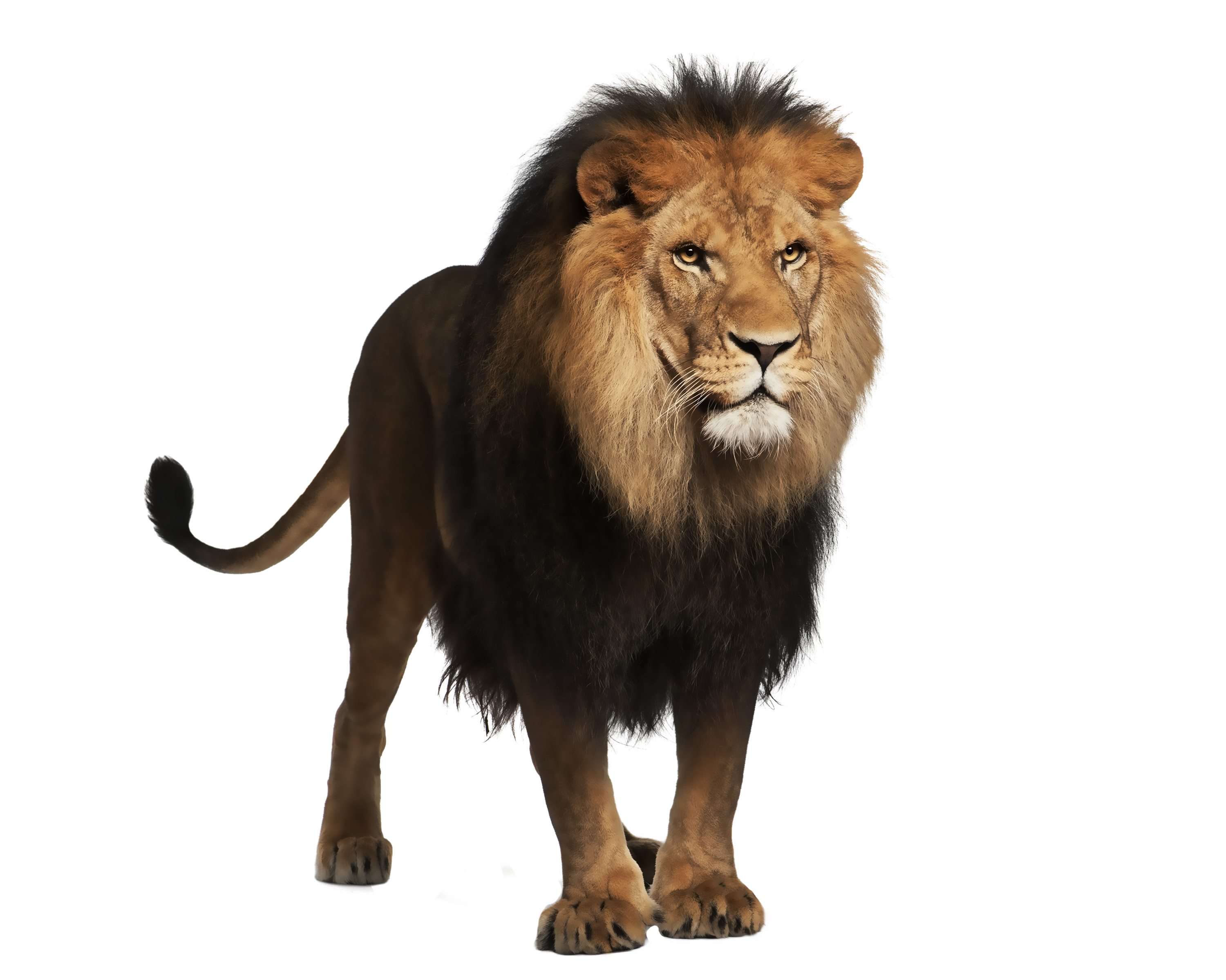 Clipart Collection Png Lion