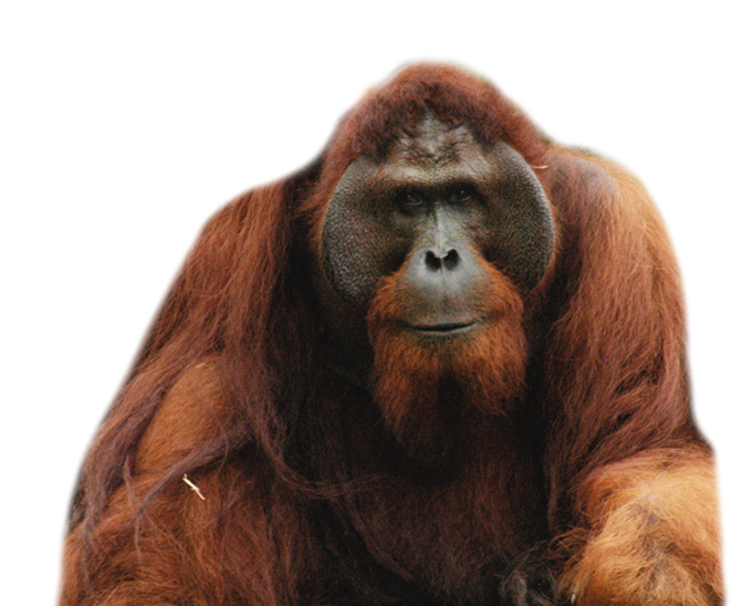 Long-Haired Orangutan Official Red Images image #48063