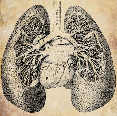 Lung Png image #25419