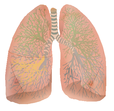 Lung Png image #25421