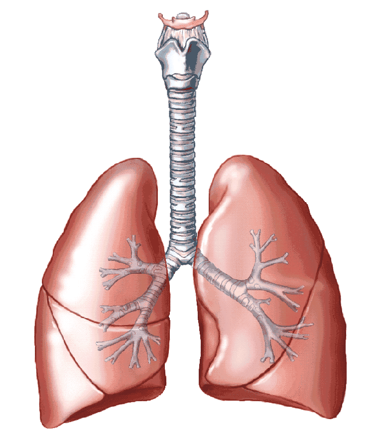 lung png