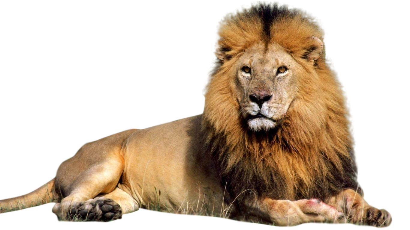 Male Lion PNG Clipart #42271 - Free Icons and PNG Backgrounds