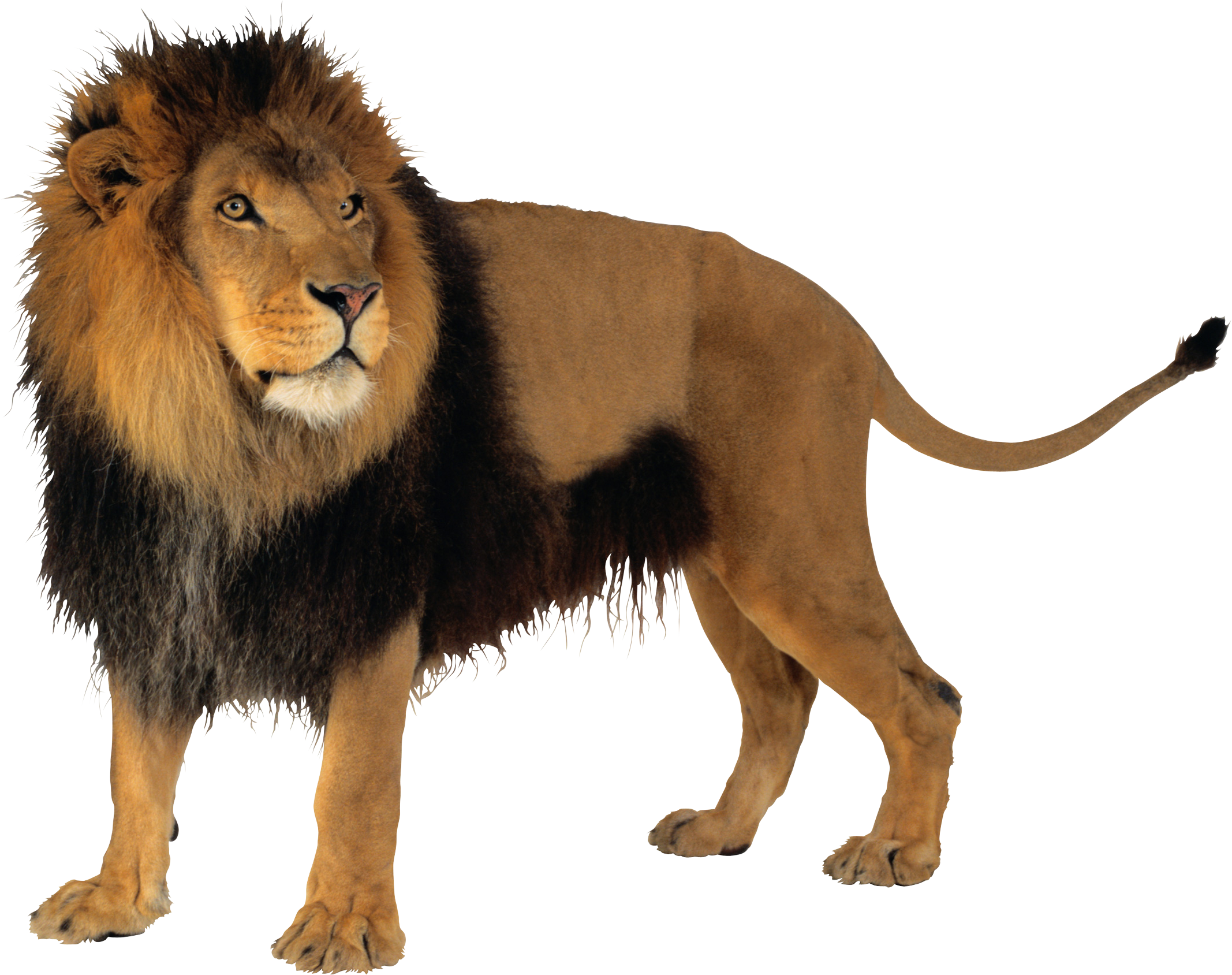 Male Lion PNG Images image #42286