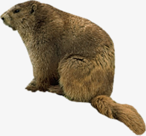 Mature Animal Beaver Photos