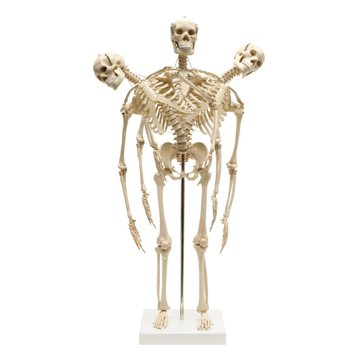 Mini Anatomical Skeleton With Flexible Spine image #5316