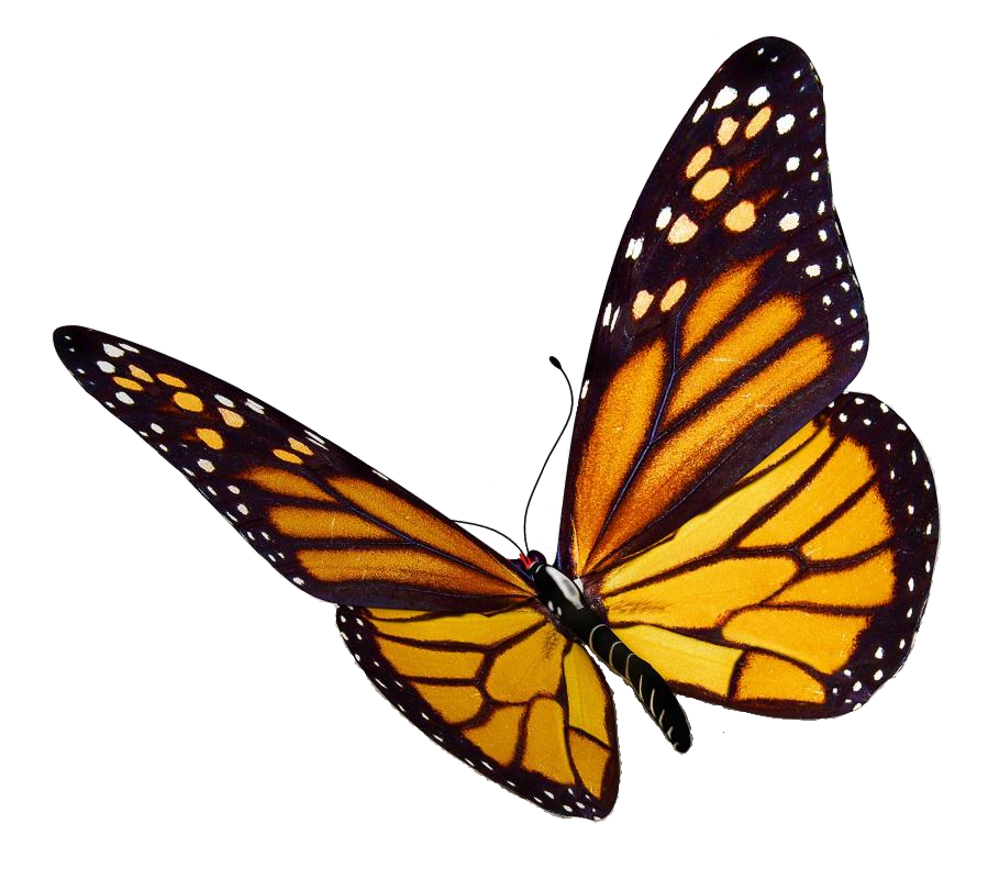 Monarch Butterfly Png image #6714