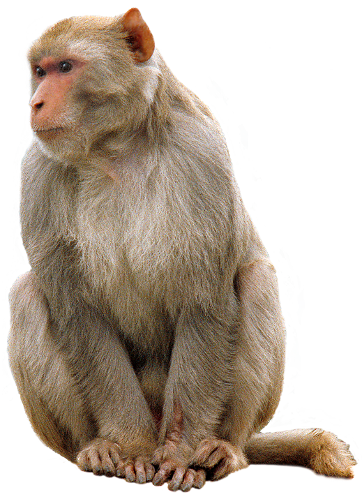 Download Free High-quality Monkey Png Transparent Images image #26148