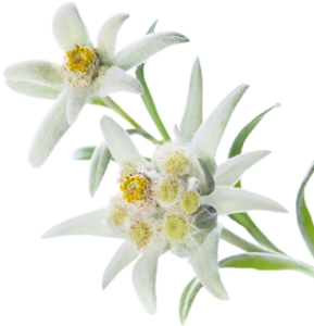 multi leaf Edelweiss white Picture
