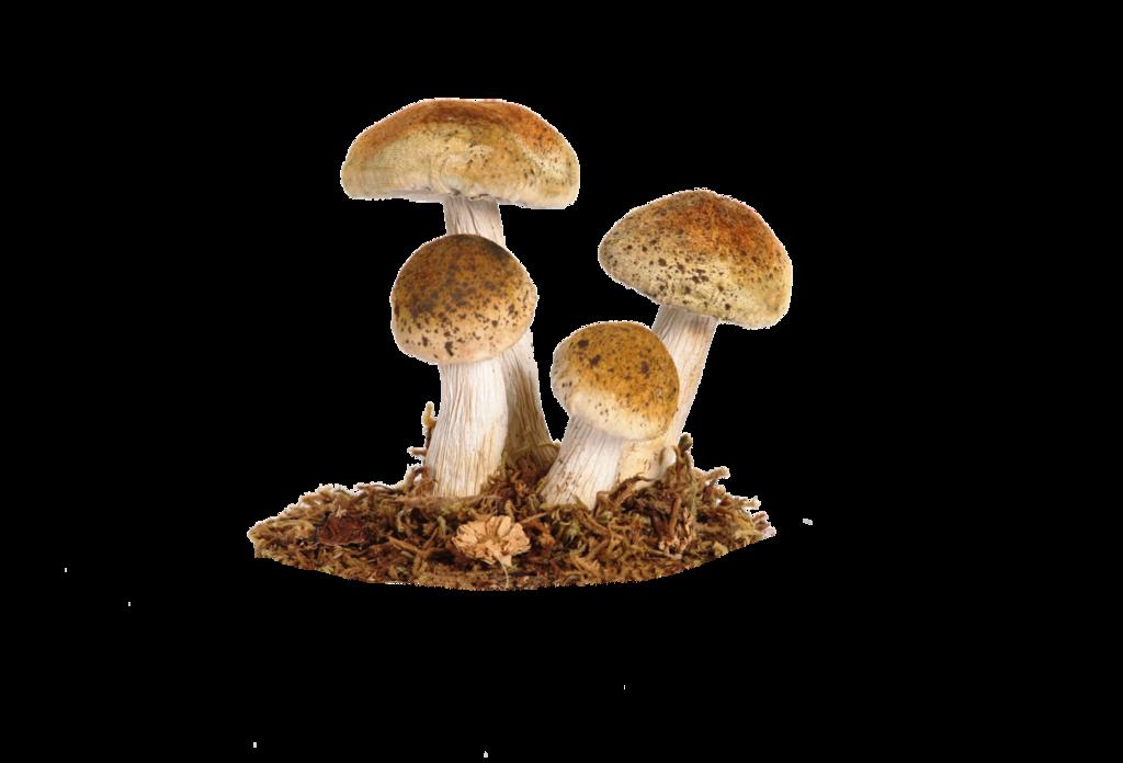 mushroom png pics