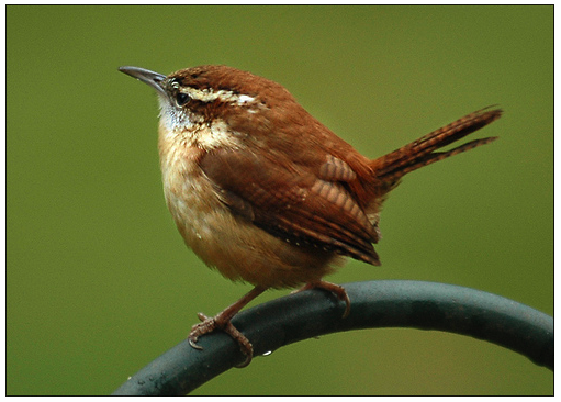 Natural And Chubby Wren Image image #47844
