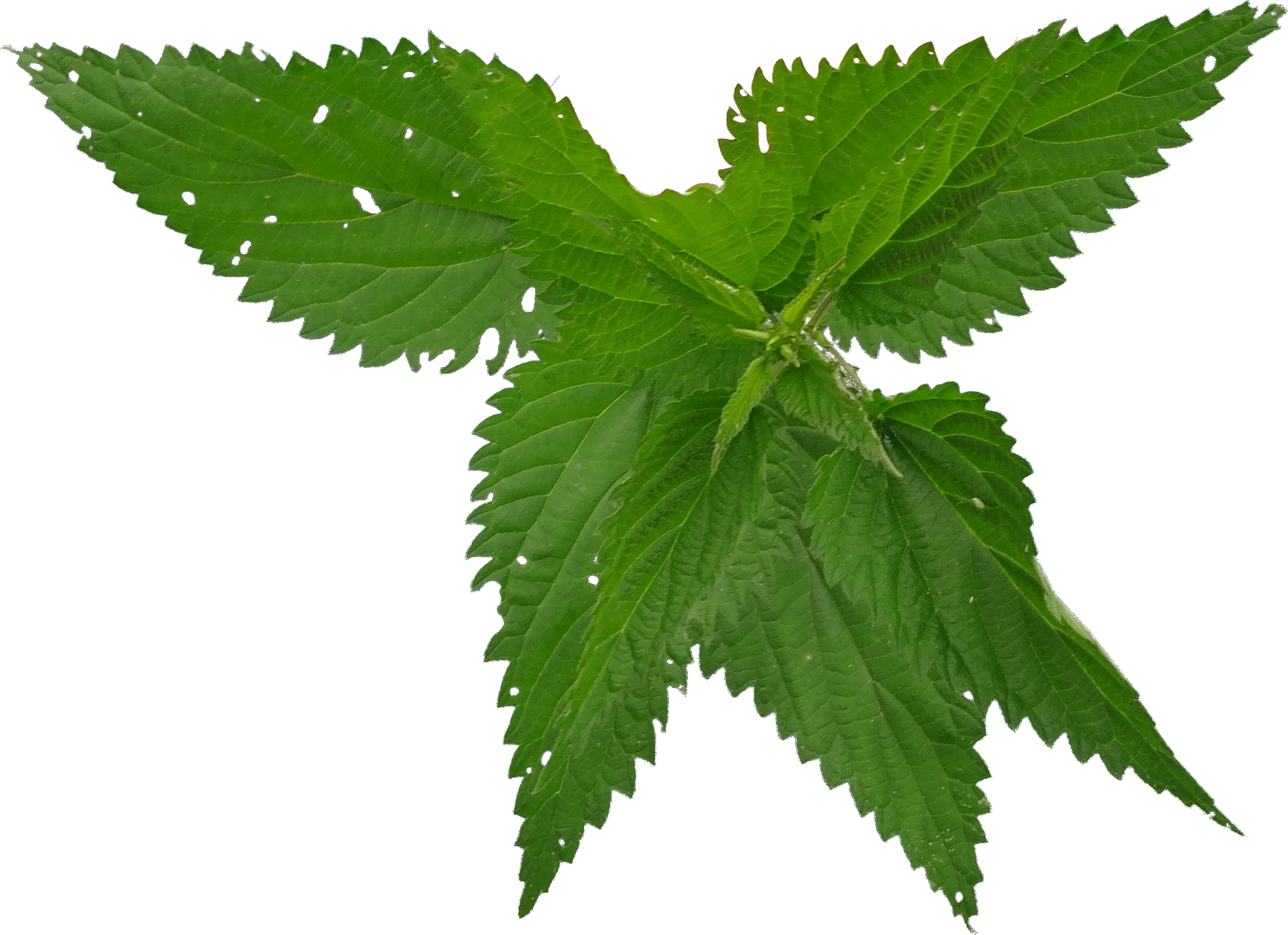 Natural Green Nettle Picture image #48475