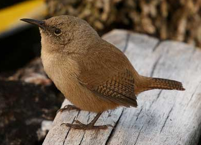 Natural Wren Pictures image #47845