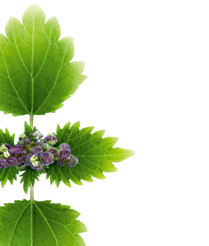 Nettle Prominently Veined Purple Green Photo image #48479