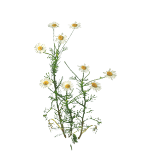 New York Aster Aster Wildflower Chamomile Alchemy image #48734