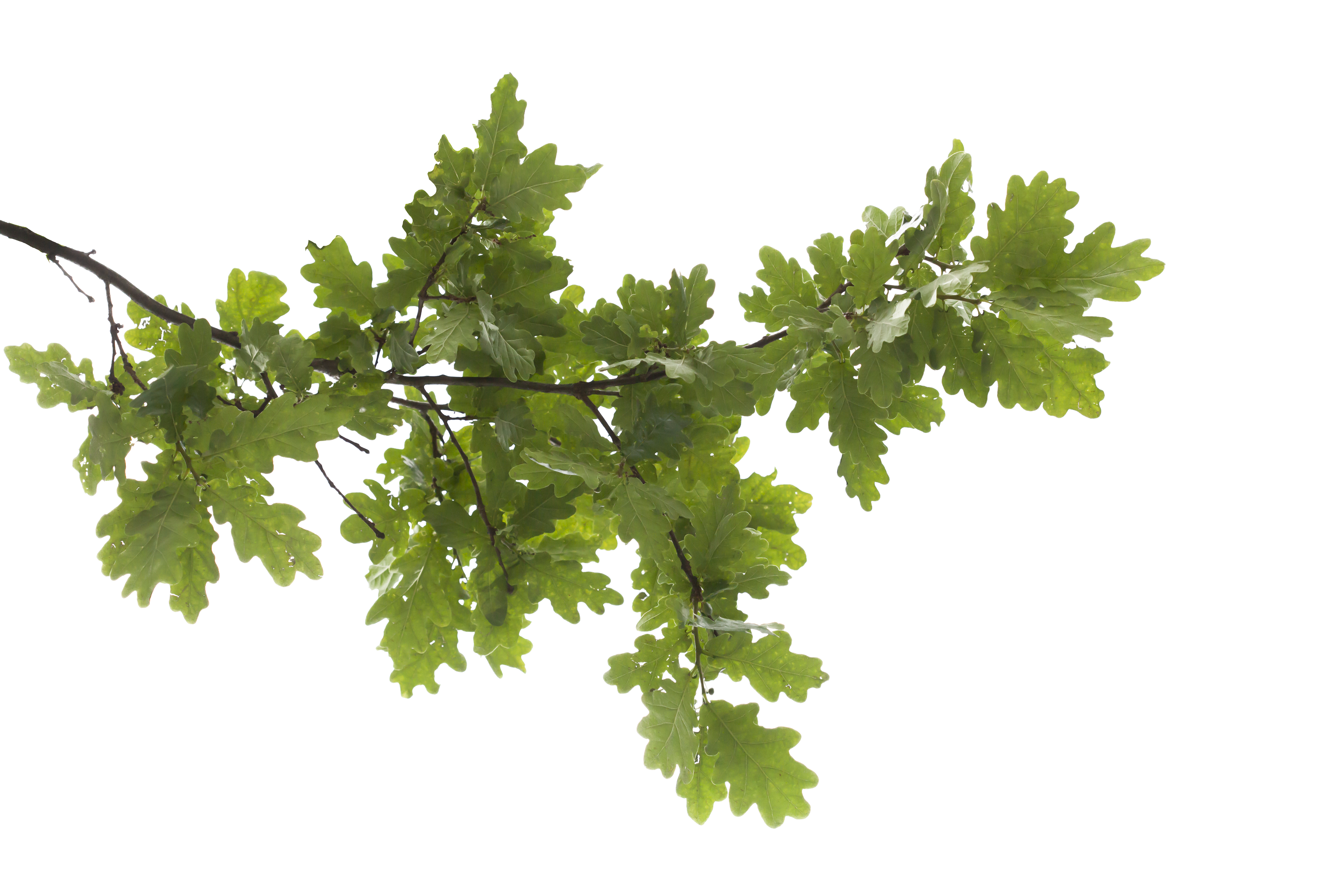 Icon Oak Tree Hd image #16492