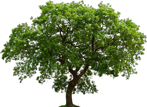 Oak Tree .ico image #16501