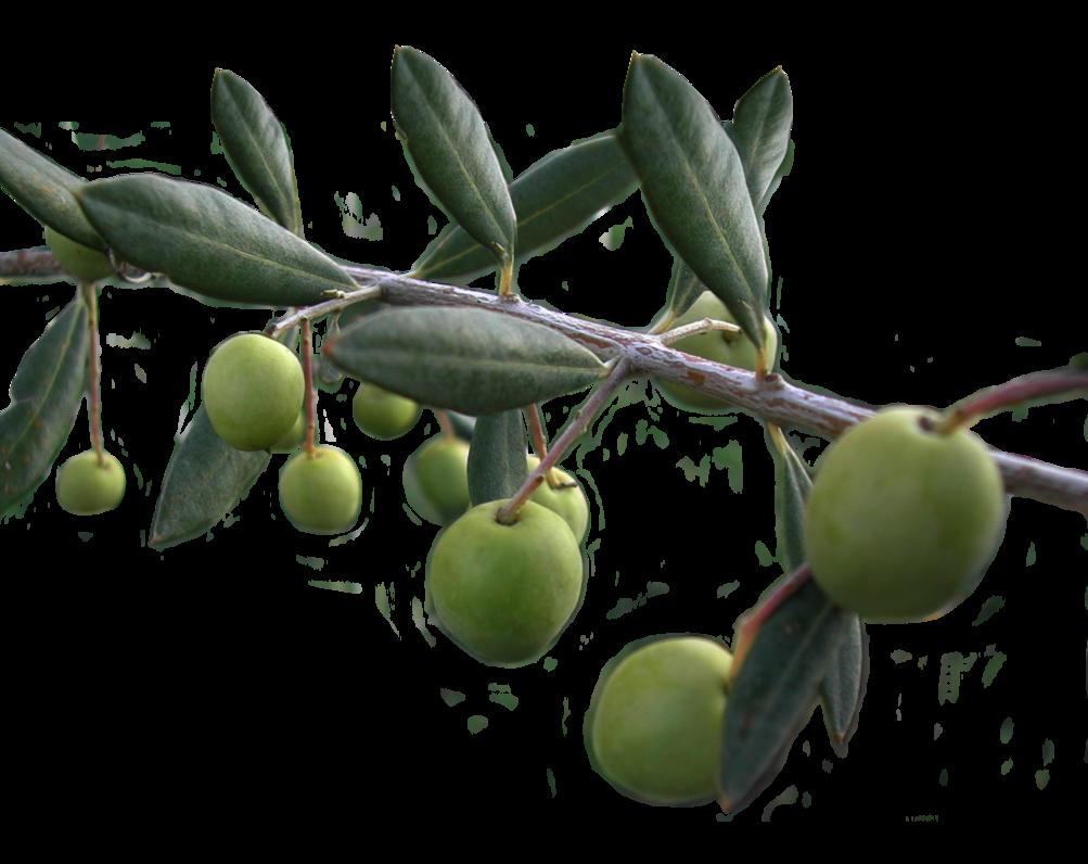 Olives Png image #40551