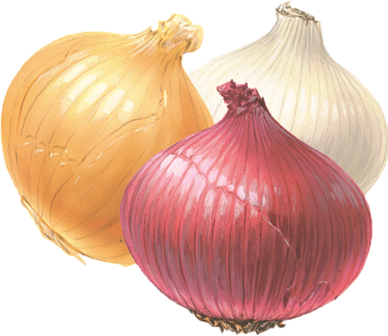 Onion PNG Clipart image #38761