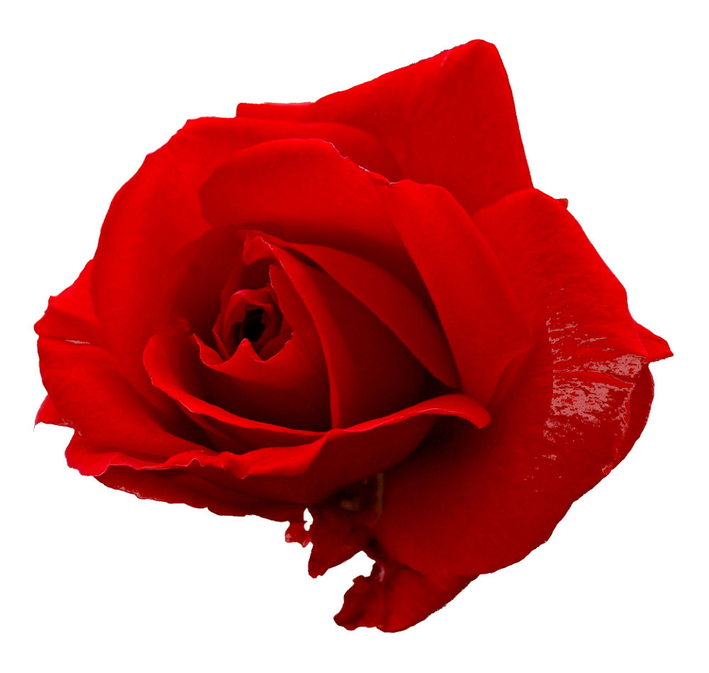 Only Rose Png image #39875