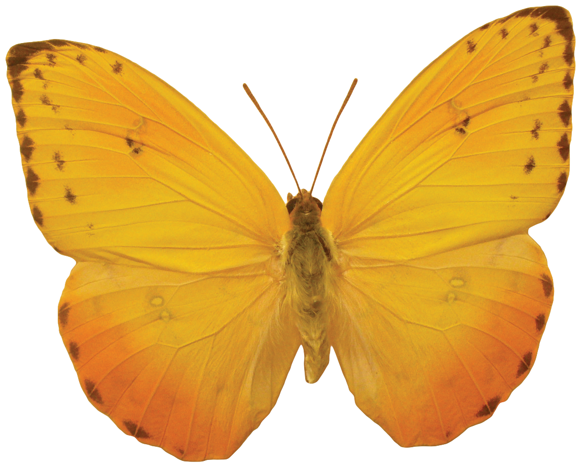 Orange Butterfly Png image #6728