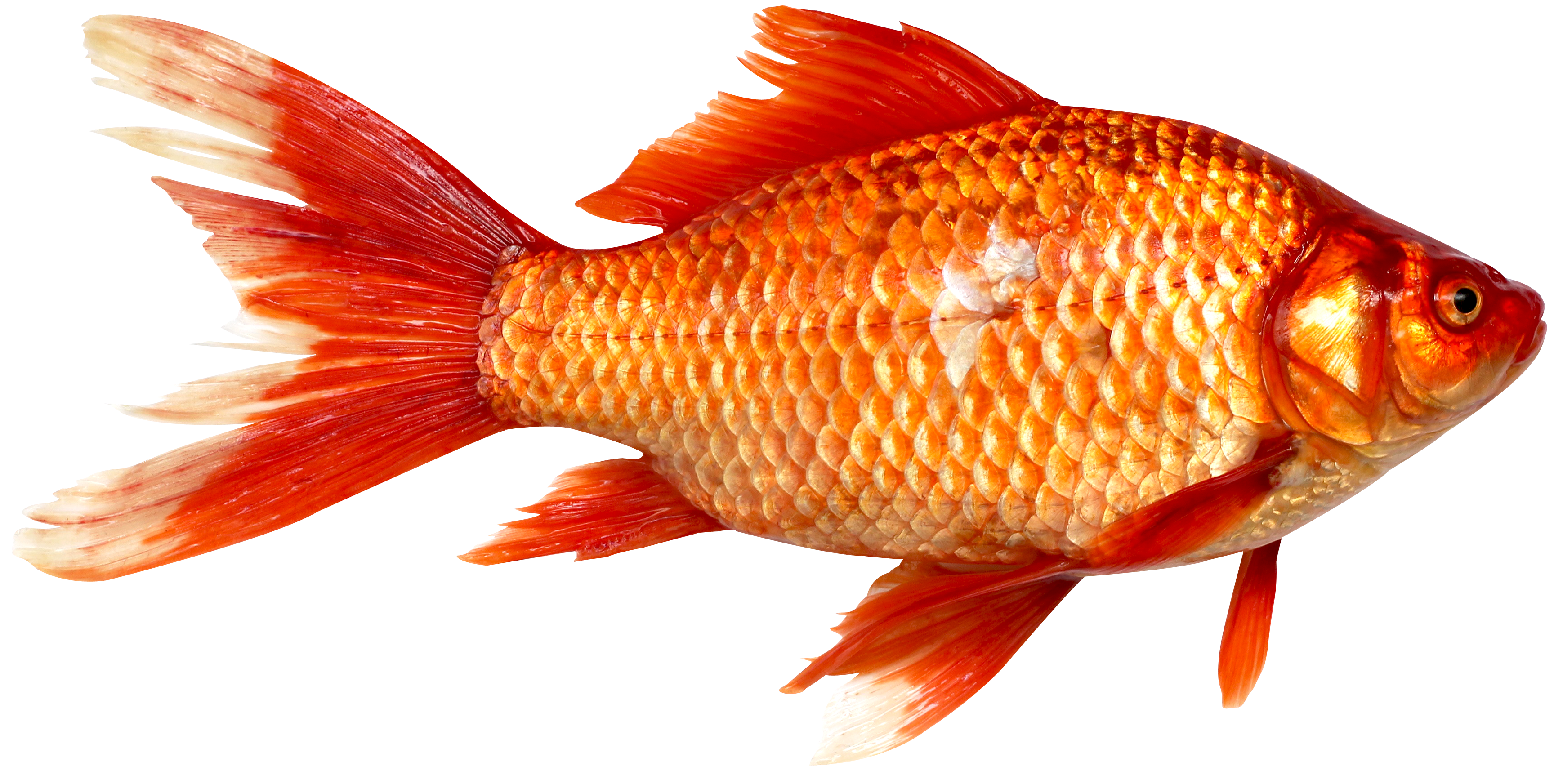 Orange Fish PNG Image image #41459