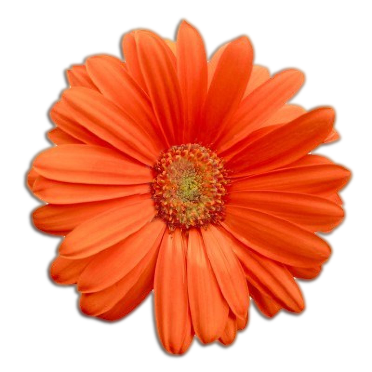 Orange Flower Png image #17942