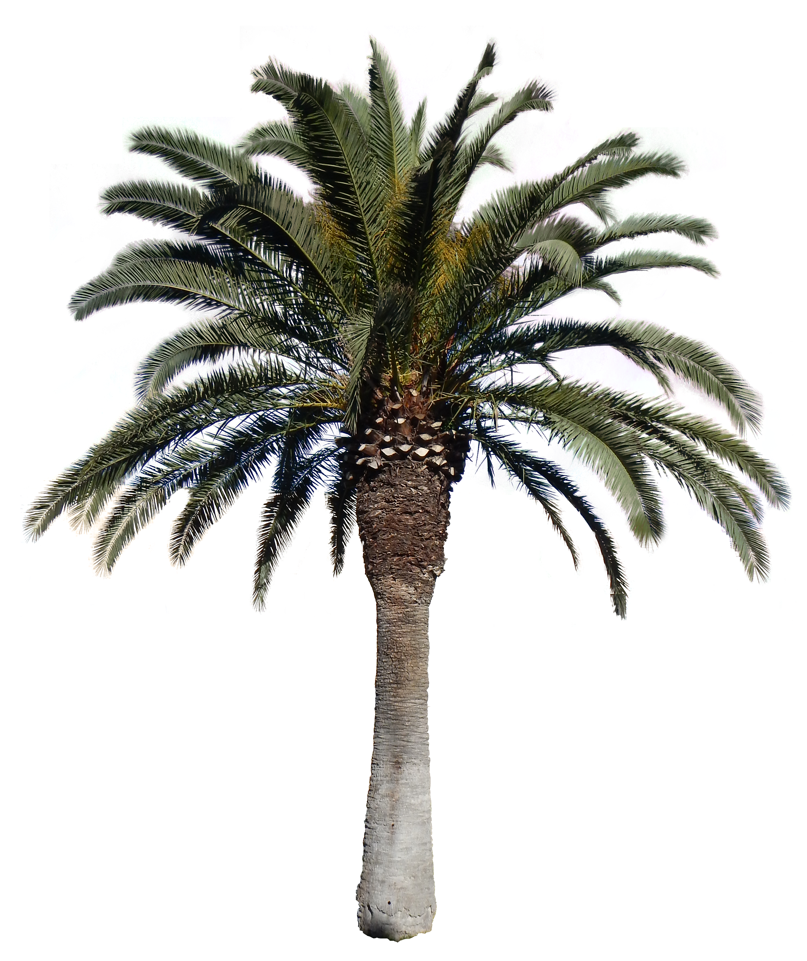 Palm Big Png With Alpha Tree image #43062
