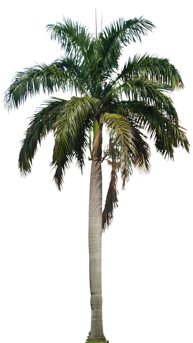 Palm Coconut Tree Designs Png image #46404