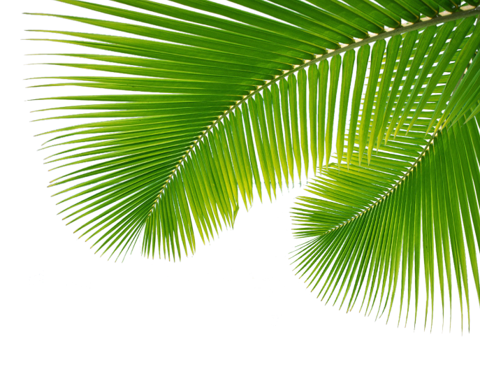 Palm Leaf, Leaves Png image #43070