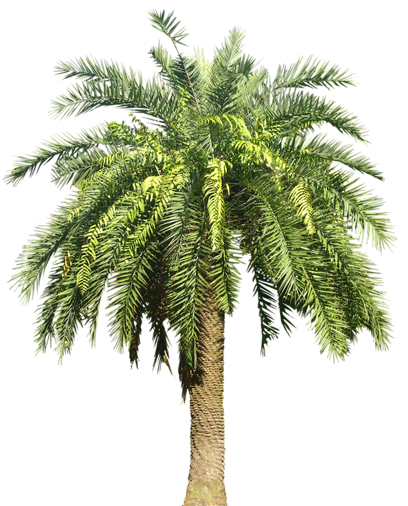 palm plant png image   icons  png backgrounds
