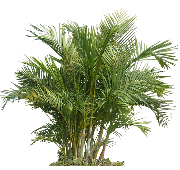 Palm Plant Png The areca palm