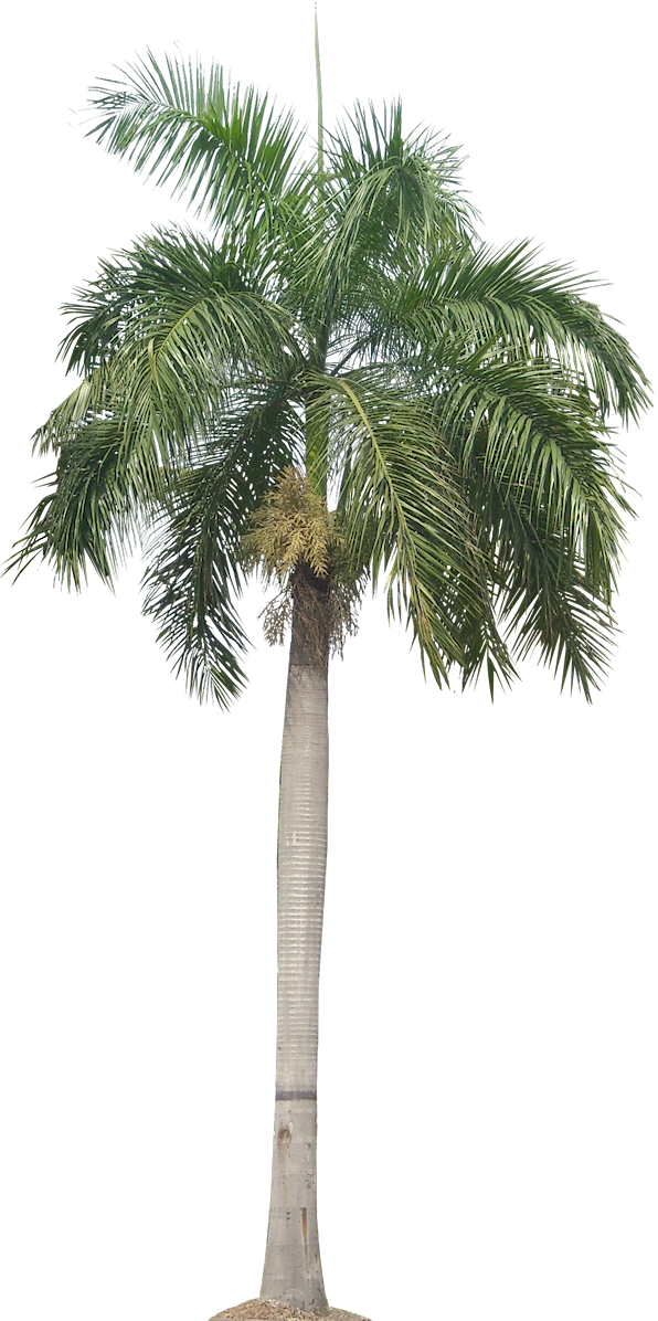 Palm PNG, Palm Transparent Background - FreeIconsPNG