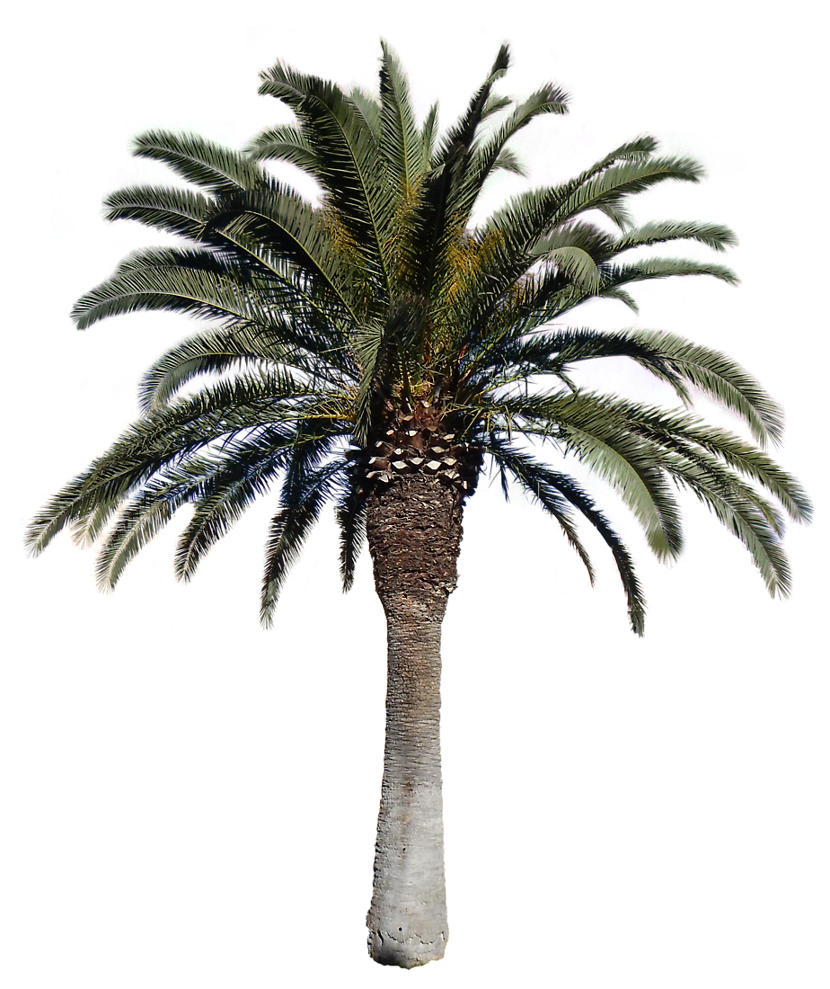 Transparent Palm Tree Background