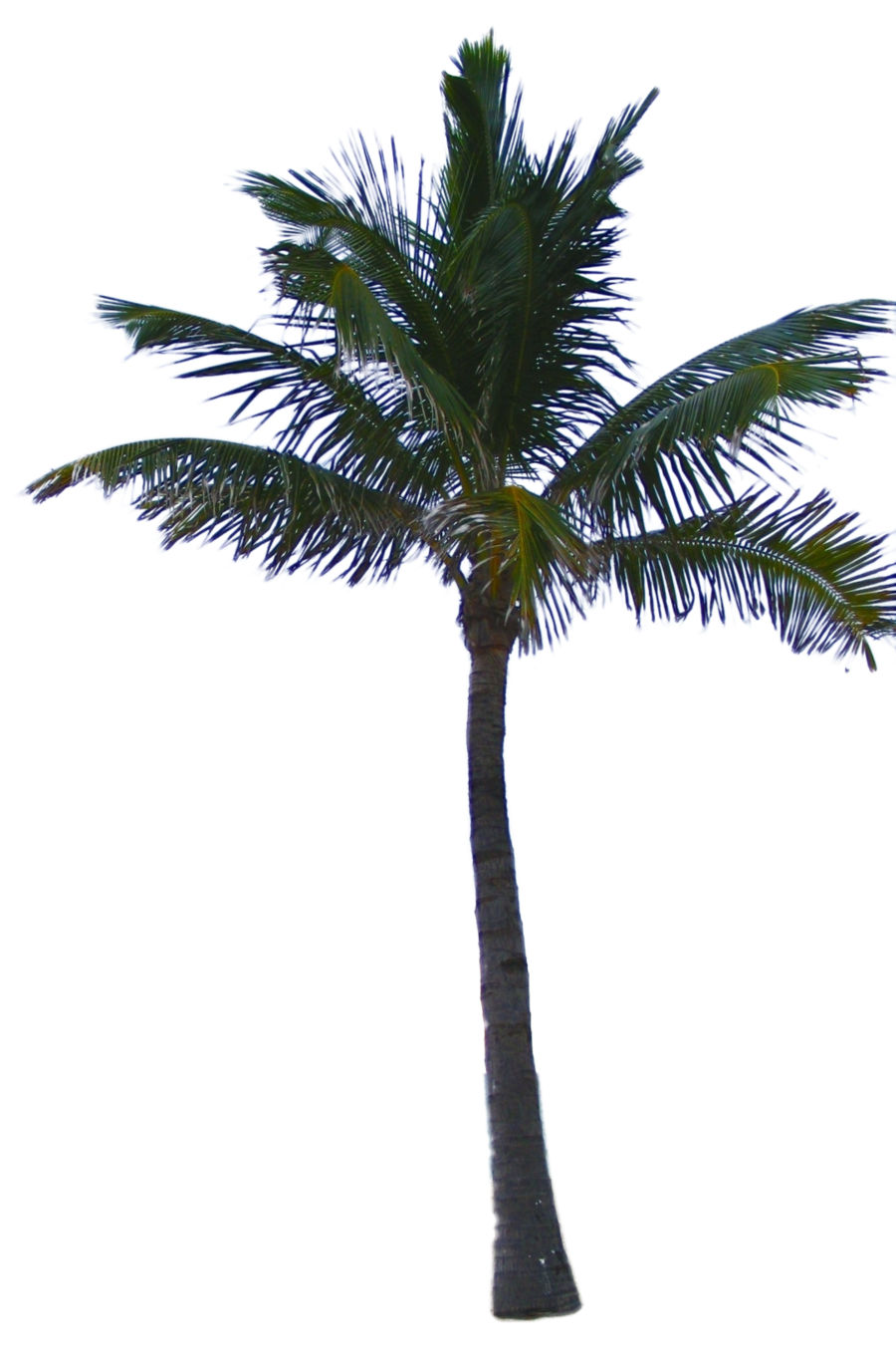 Palm Tree Png Available In Different Size