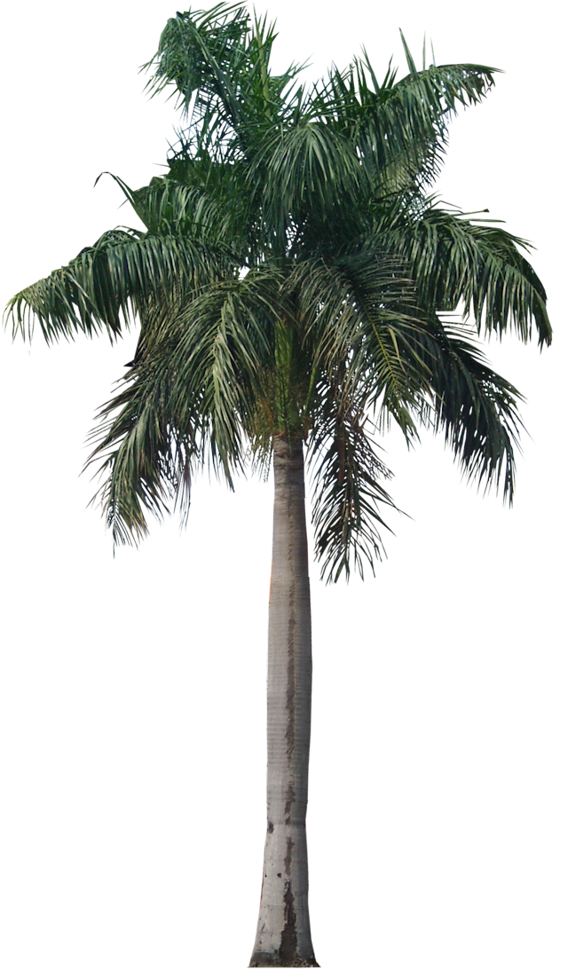 Palm Tree Png Photo 43078 Free Icons And Png Backgrounds