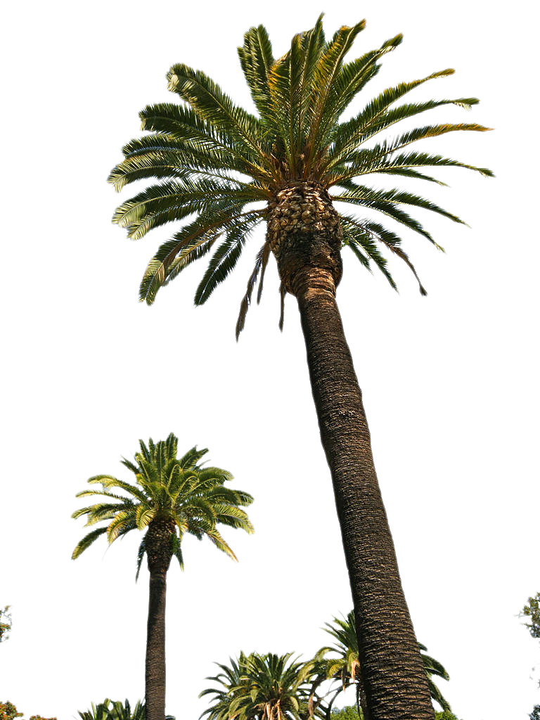 Palm Trees Hd PNG