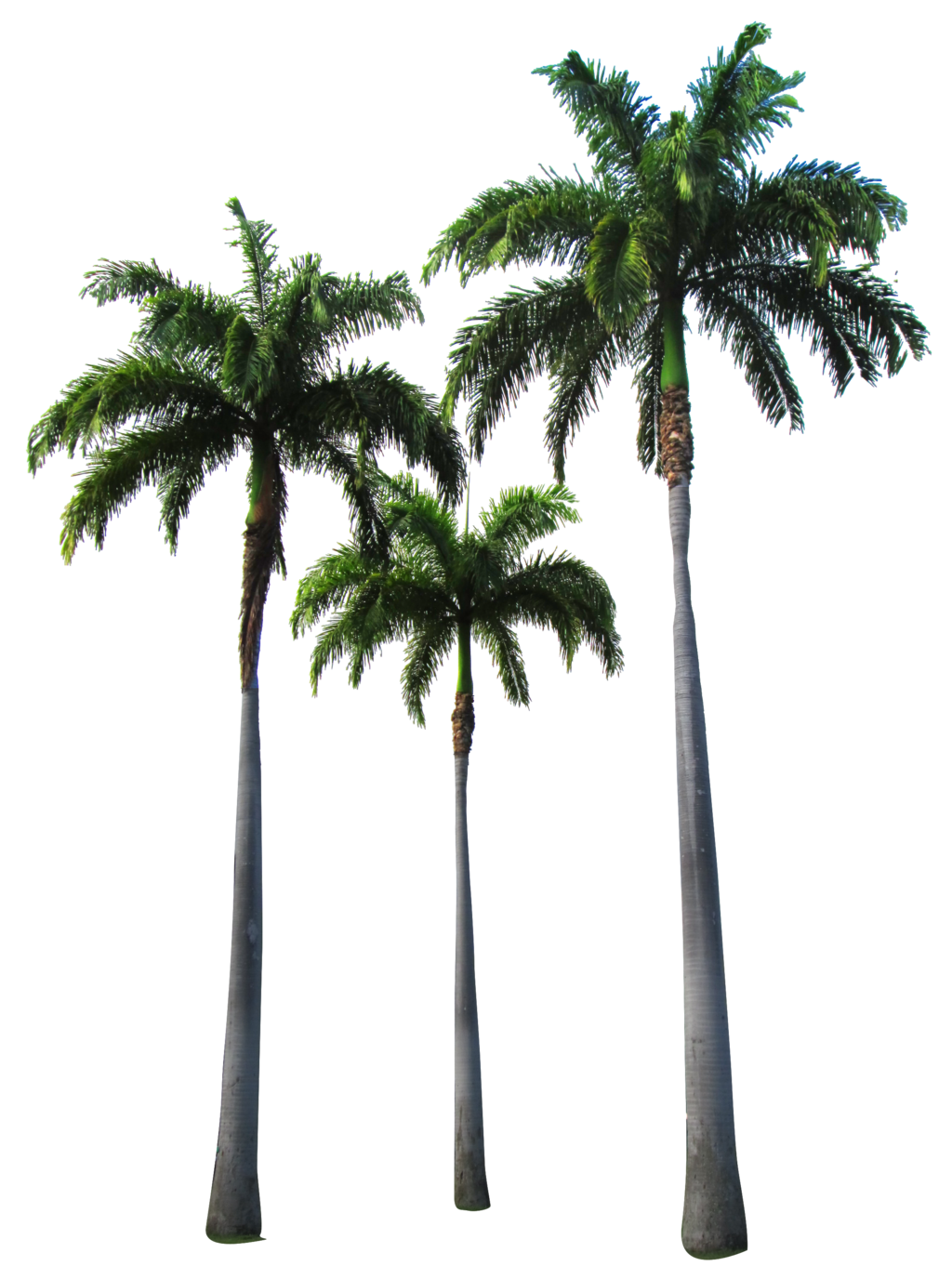 Palm Trees Transparent Hd Png image #43072