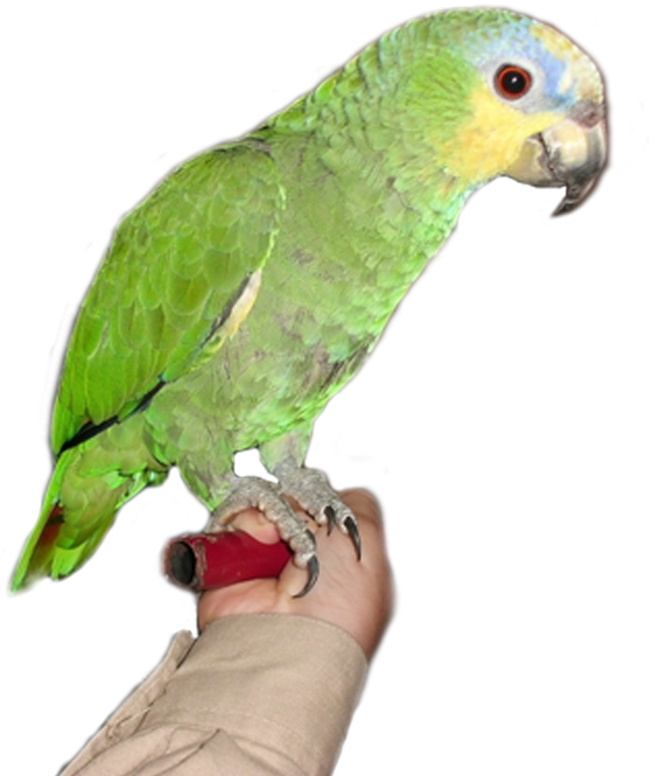Browse And Download Parrot Png Pictures image #22816