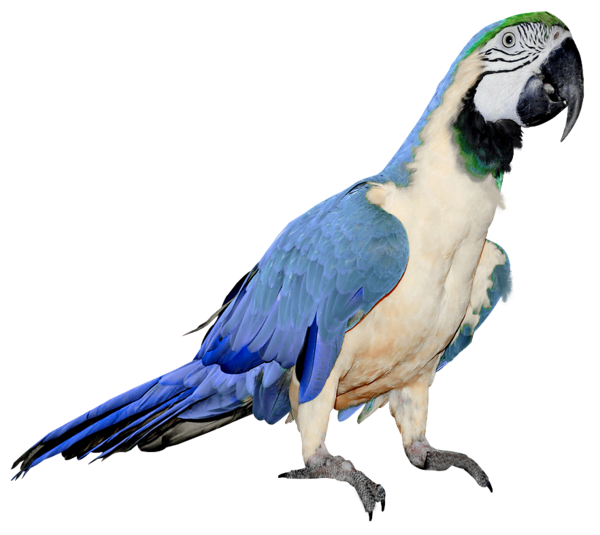 Parrot Png Clipart Collection