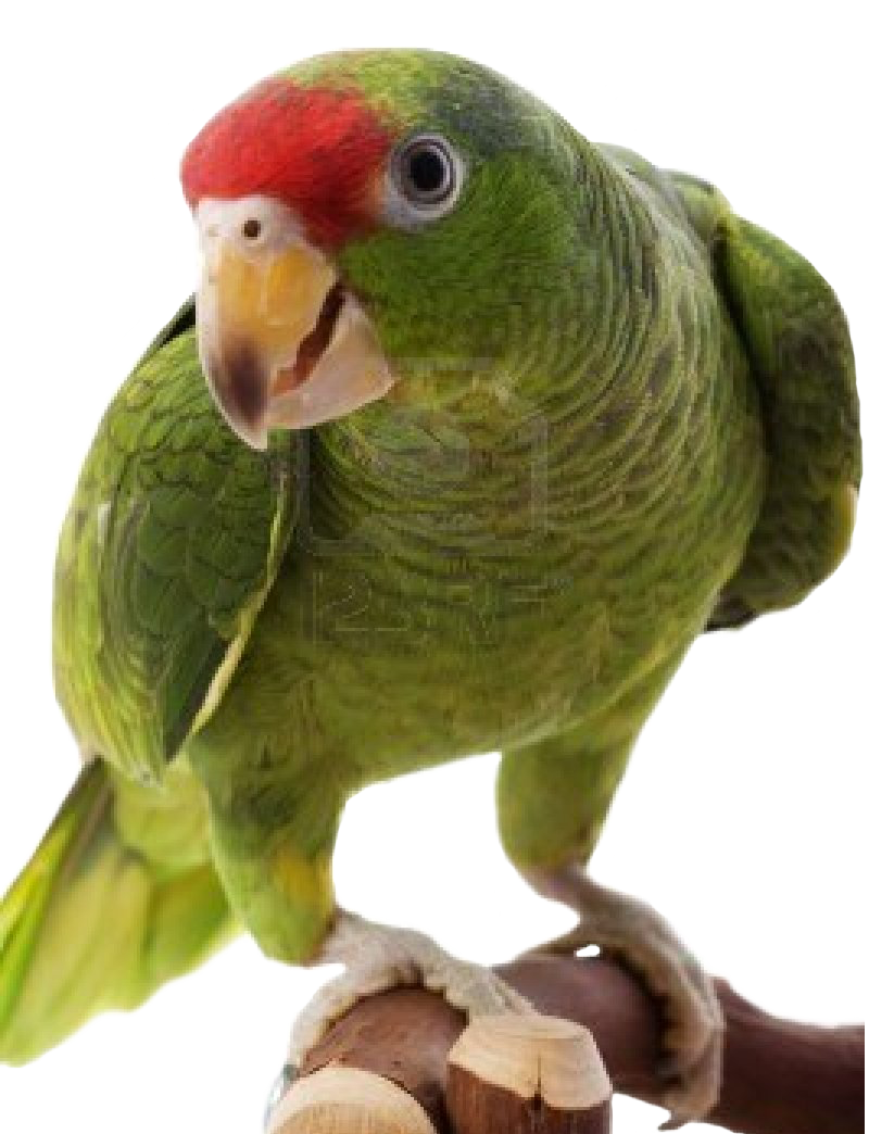 High Resolution Parrot Png Clipart image #22826