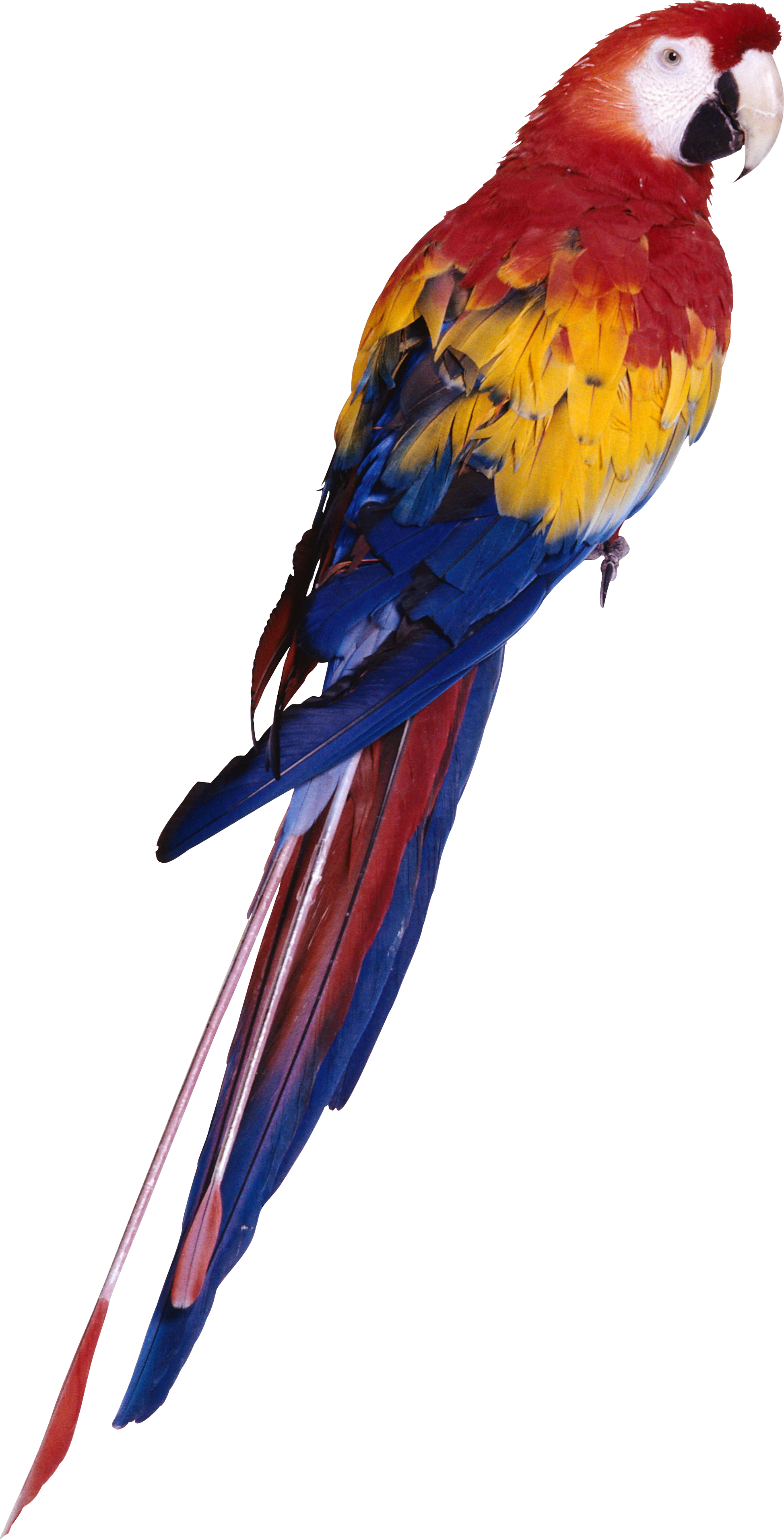Browse And Download Parrot Png Pictures image #22828