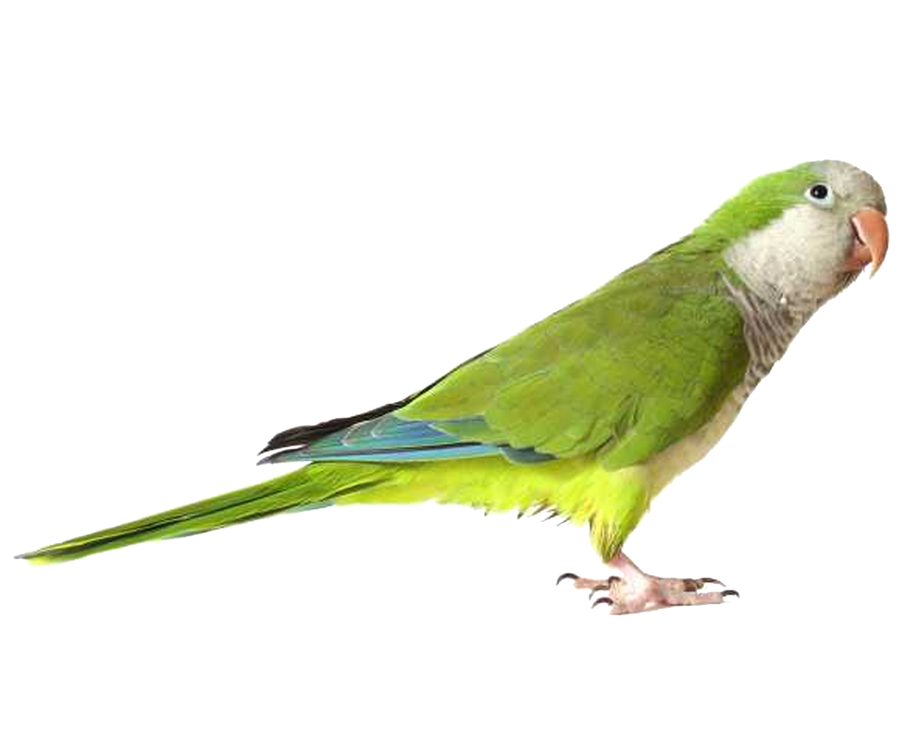 Download Icon Parrot Vectors Free image #22831