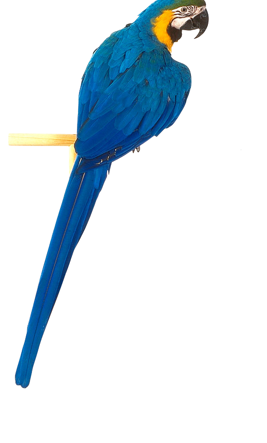 Png Parrot Best Collections Image image #22832