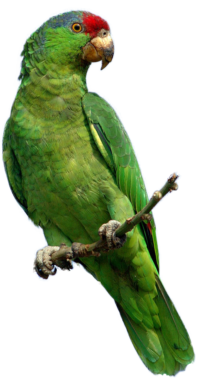 Parrot Photo PNG image #22812