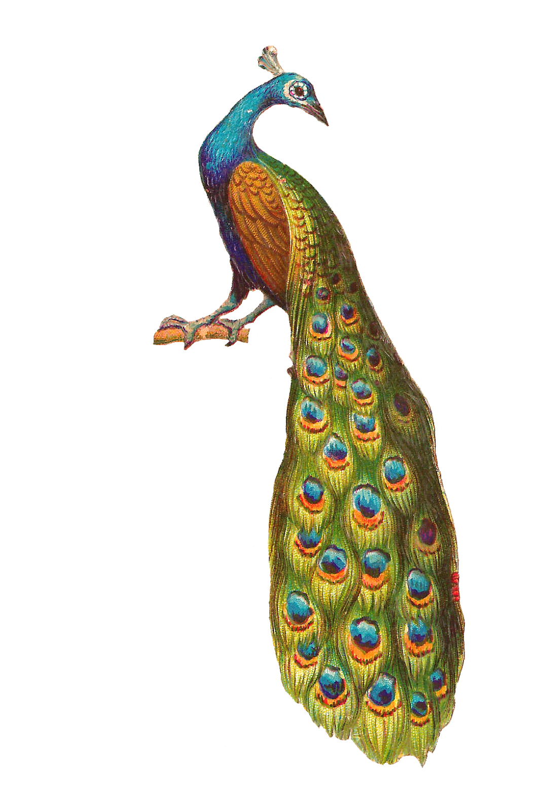 PNG Peacock Picture
