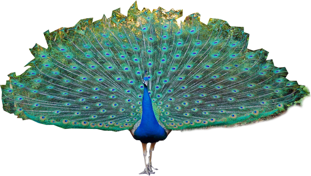Icon Peacock Download image #22883