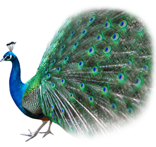 Best Free Peacock Png Image
