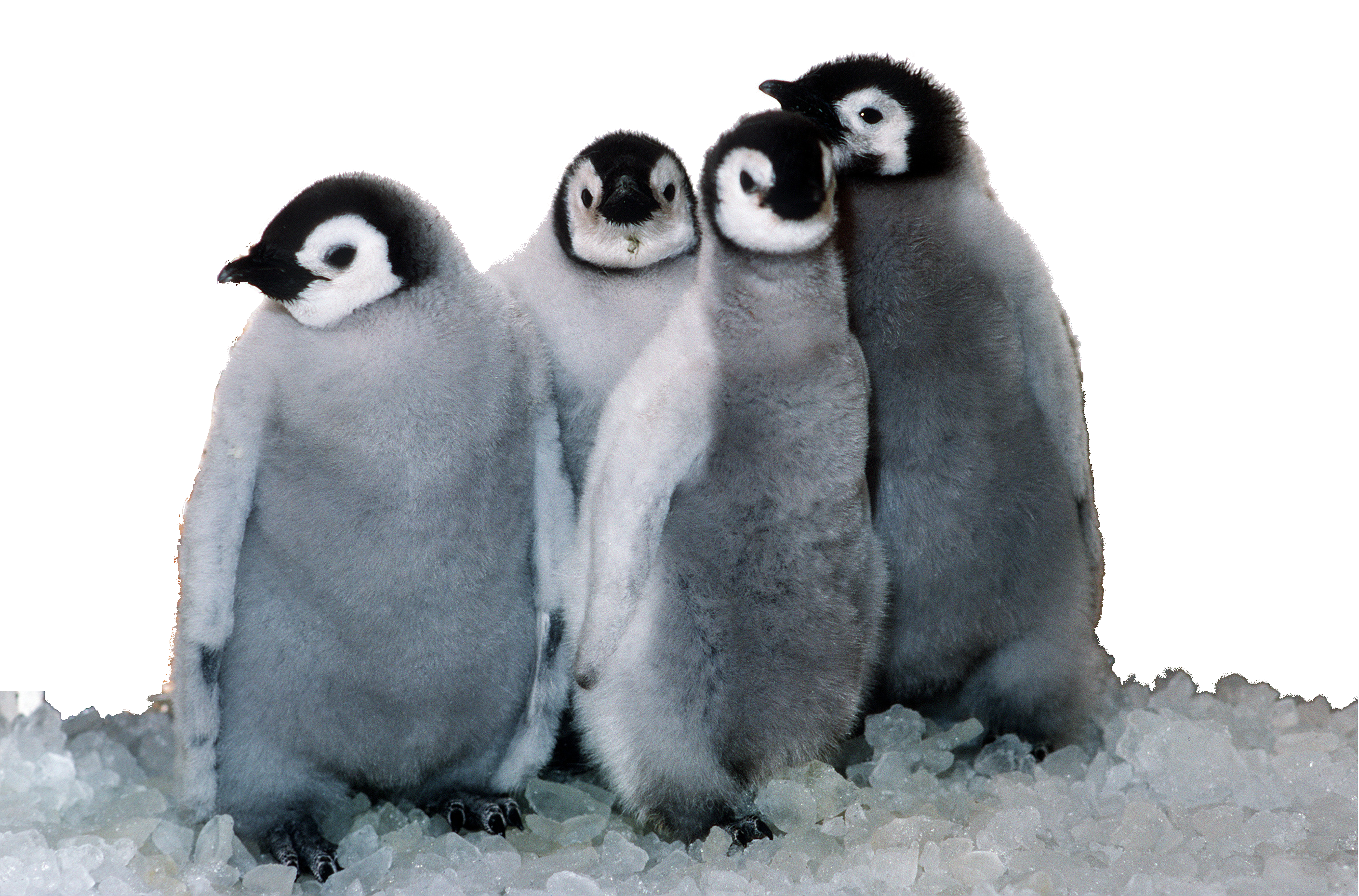 Browse And Download Penguin Png Pictures image #19545