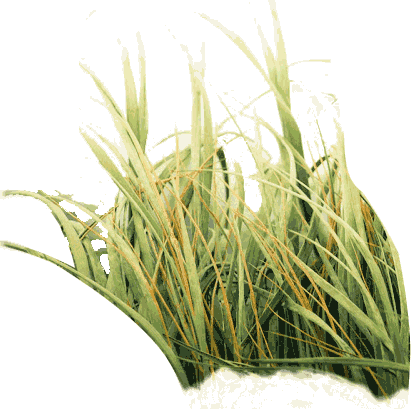 Photo of Tall Grass Png