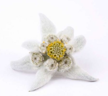 Picture fluffy white Edelweiss yellow